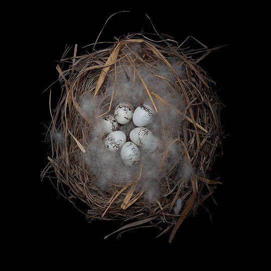 Гнездо красноухой овсянки
