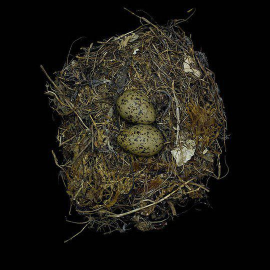 Гнездо западной чайки
