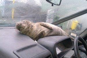 Маленького тюленя спрятали от шторма в машине