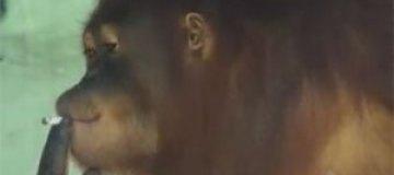 Курящую обезьяну отправят в реабилитационный центр