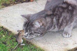 Смелая мышь атаковала голодного кота