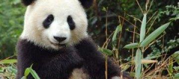 В Китае создали самый дорогой чай из фекалий панды