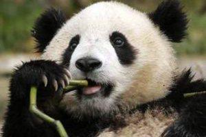 Панд из эдинбургского зоопарка наградили за вклад в развитие туризма