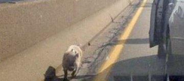Поросенок в шарфе удивил питтсбургских водителей