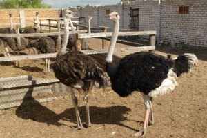 Запорожская пенсионерка завела сторожевого страуса
