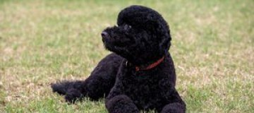Семья президента США завела вторую собаку