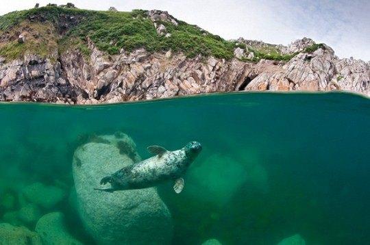 «Серый тюлень под скалами»
