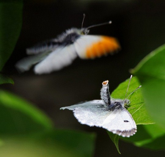 «Спаривание оранжевокрылых бабочек»