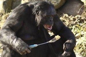 Шимпанзе умеет разжигать костер и готовить еду на сковороде