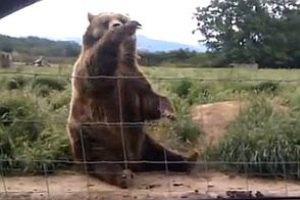Вежливый медведь помахал туристке на прощание