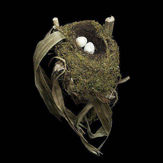 Гнездо пятнистого соловья