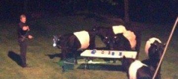 Коровы отняли пиво у гостей вечеринки