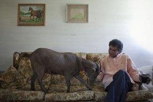 Житель Нью-Йорка держит в квартире козу