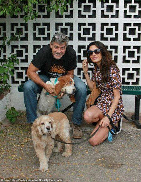 Джордж и Амаль Клуни с их спаниелем Луи и новым питомцем Милли
