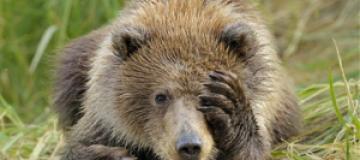 Медвежонок зашел за покупками в супермаркет на Аляске