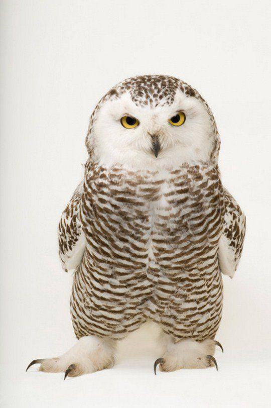 Молодая снежная сова (Bubo scandiacus)
