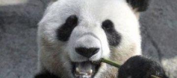 """В список """"Лиц 2011 года"""" по версии BBC затесалась панда"""