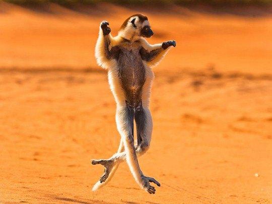 Сифа́ки, Мадагаскар. Хохлатые индри или сифа́ки — род приматов, распространенный только на острове Мадагаскар