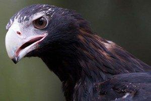 В машину к австралийскому пенсионеру влетел орел