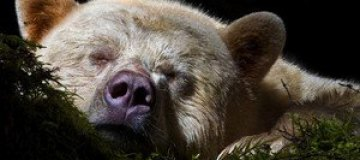 В Канаде объявился бурый медведь-альбинос