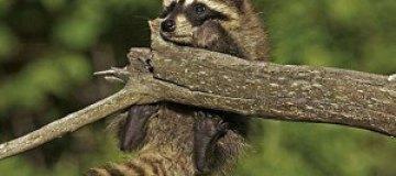 Опасные игры маленьких енотов