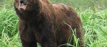 Медведь спас мужчину от нападения горного льва