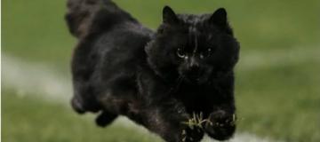 Из-за черного кота остановили футбольный матч чемпионата Англии