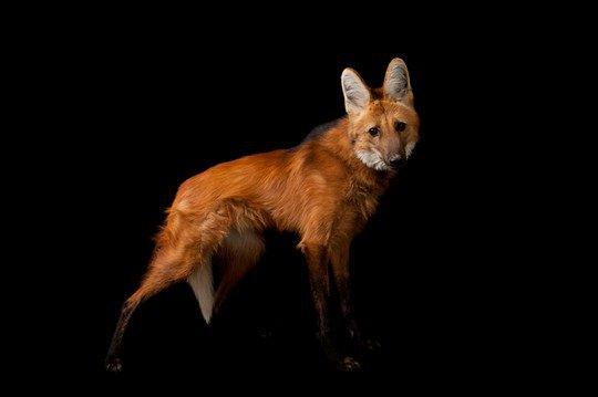 Гривистый волк (Chrysocyon brachyurus)