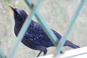 В Челябинской области с выставки птиц похитили дрозда