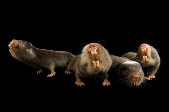 Дамараландские кротовые крысы