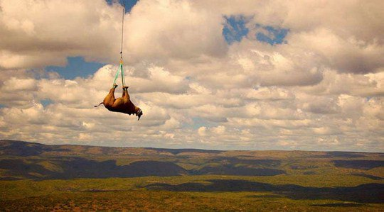 Черного носорога перевозят на вертолете в ЮАР в новый заповедник