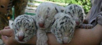 Тигрюля родила четверню