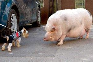 Донецкая свинья возомнила себя собакой