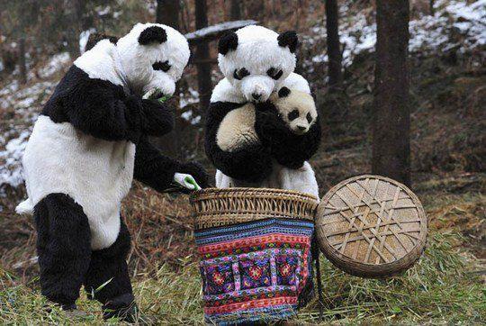 Ученые в костюмах панд кладут детеныша панды в корзину