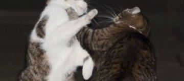 Британские полицейские помирили кота премьер-министра и кошку минфина