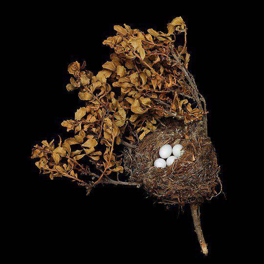 Гнездо американского чижа