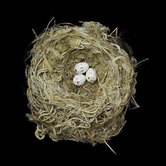 Гнездо западного зимородка