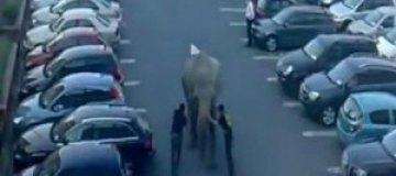 Слона-беглеца задержали на автомобильной парковке