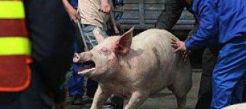 Свинья устроила 5-километровую пробку на японской трассе