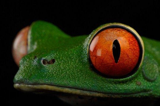Красноглазая древесная лягушка (Agalychnis callidryas)