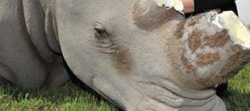 В ЮАР статуя носорога пострадала от рук браконьеров