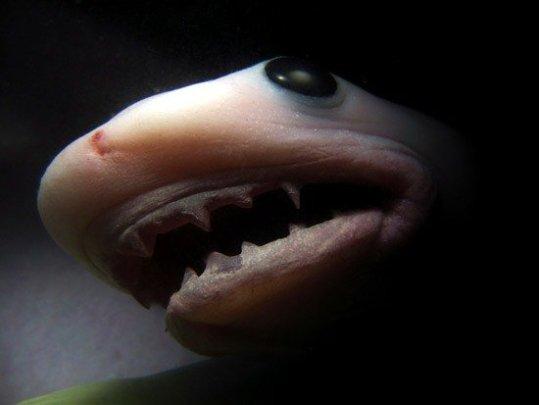 Маленькая акула в утробе