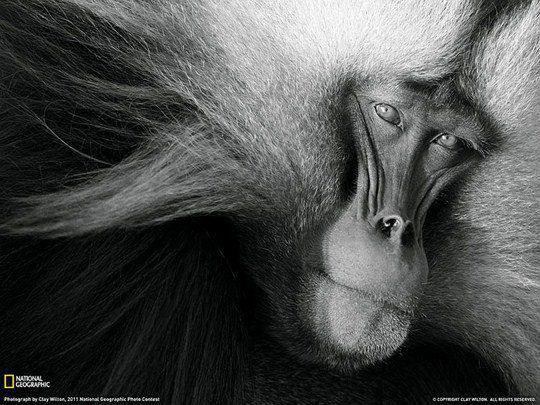 Гелада, Эфиопия. Редкий вид приматов из семейства мартышковых, близкий родственник павианов