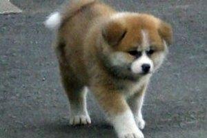 Японцы подарили Путину редкую собачку