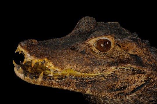 Карликовый кайман (Paleosuchus palpebrosus)