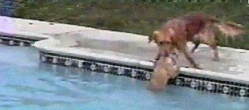 Героический пес спас щенка, упавшего в бассейн