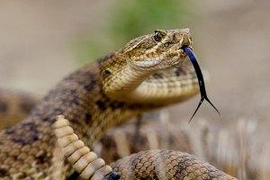 Гремучая змея укусила покупателя в супермаркете