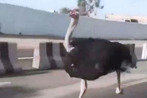 В Саудовской Аравии страус устроил гонки с автомобилями