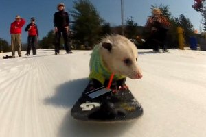 Опоссум на сноуборде стал звездой Интернета